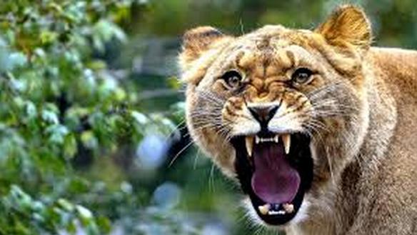 Roaring lionesses