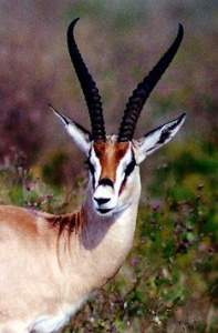 BEAUTIFUL GAZELLE