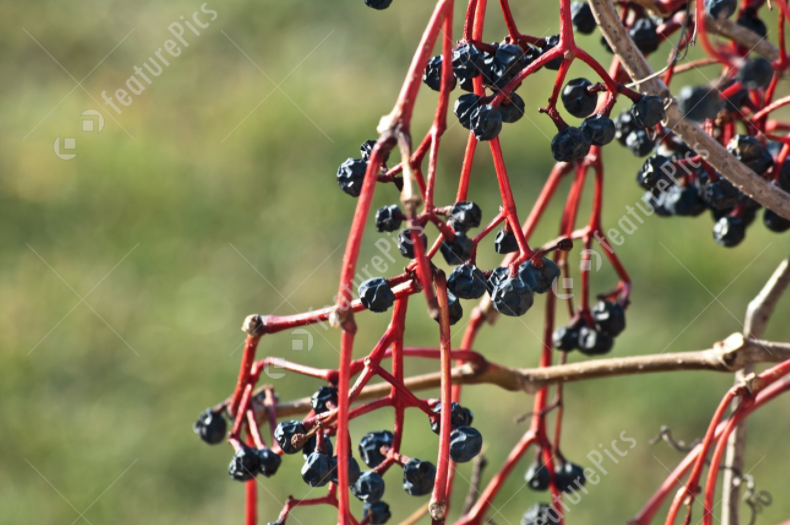 withered grape vine