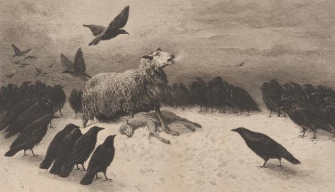 anguished sheep